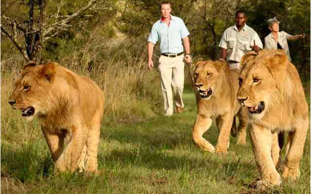 WALK WITH LION EXPERIENCE